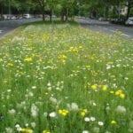 Wildblumenwiesen im Riederwald